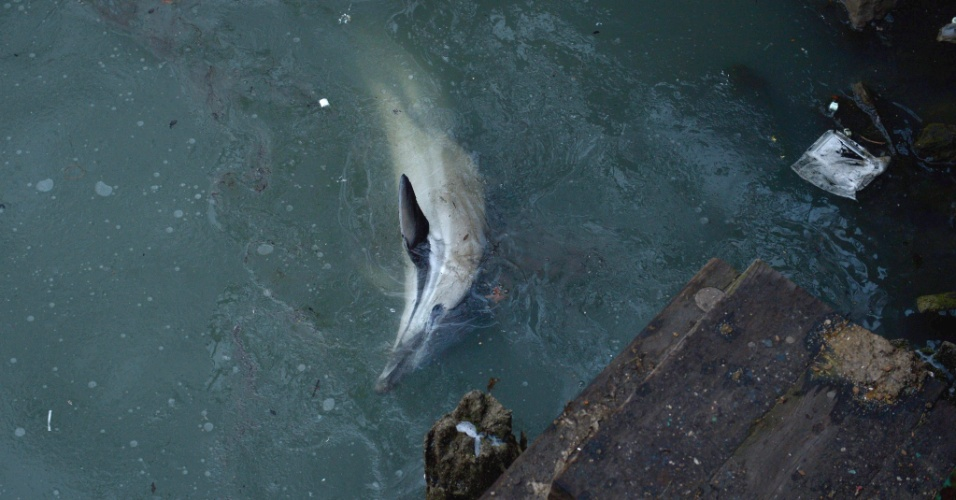 25.jan.2013 - Golfinho incapaz de voltar para mar aberto nada em canal poluído no distrito do Brooklyn, em Nova York. Especialistas esperam que o animal consiga sair das águas contaminadas com a maré alta do final do dia
