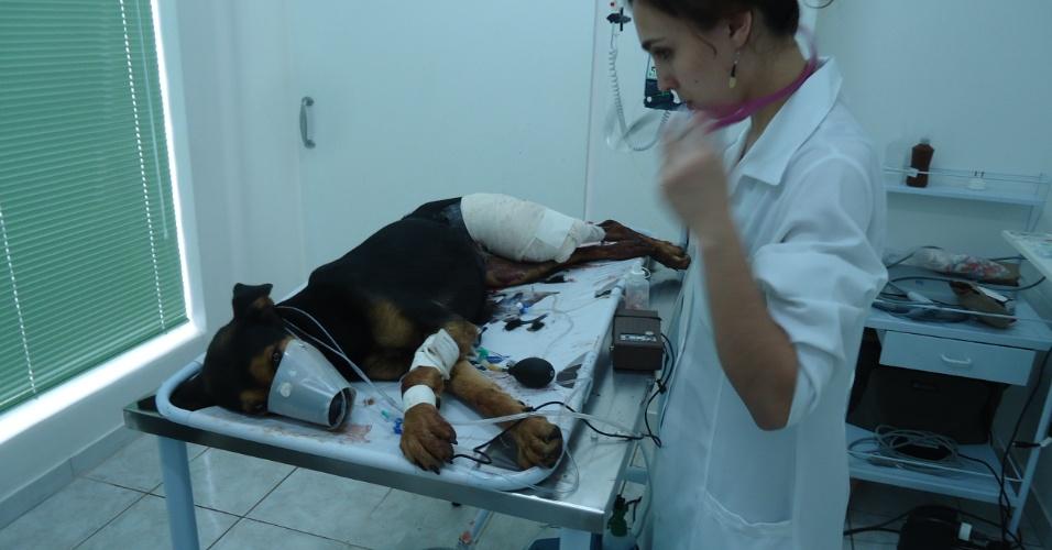 26.jan.2013 - Uma cadela foi alvejada por um tiro disparado por um fazendeiro, que foi preso e multado em R$1500, em Cajuru (SP), neste sábado (26). O animal perdeu muito sangue, recebeu transfusão e foi nomeada de Vitória