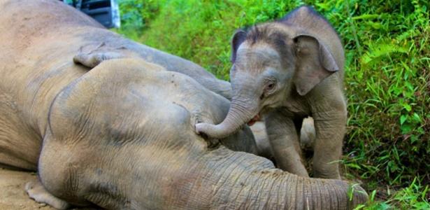 Filhote de cerca de três meses tenta acordar a mãe morta, segundo veterinário da Reserva Florestal Gunung Rara, na ilha de Bórneu - Sabah Wildlife Department/Reuters