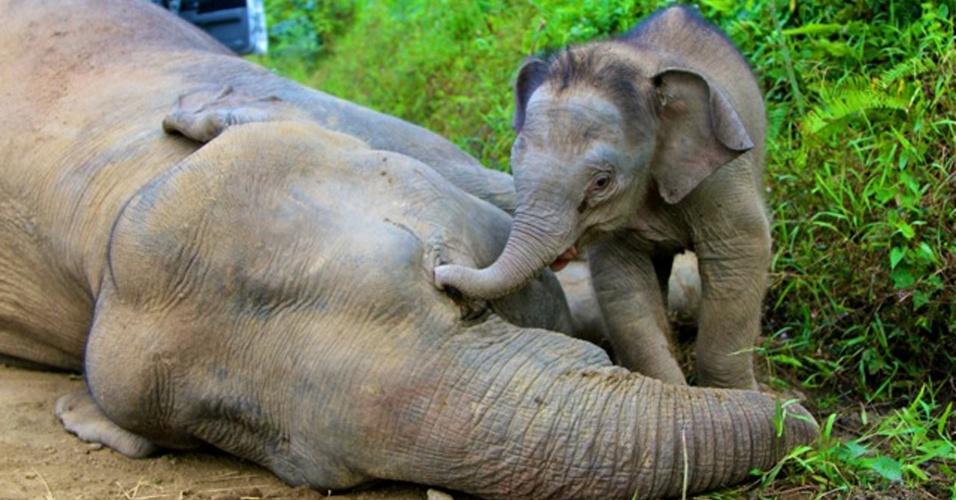 """29.jan.2013 - Dez elefantes pigmeus de uma, uma espécie ameaçada, foram encontrados mortos em uma reserva na ilha de Bornéu, na Malásia. As autoridades suspeitam que os animais podem ter sido envenenados intencionalmente. """"Foi muito triste ver todos aqueles elefantes mortos, especialmente uma das fêmeas que tinha um filhote muito pequeno, de cerca de três meses de idade. O filhote estava tentando acordar a mãe morta"""", disse Sen Nathan, veterinário-chefe da da Reserva Florestal Gunung Rara"""