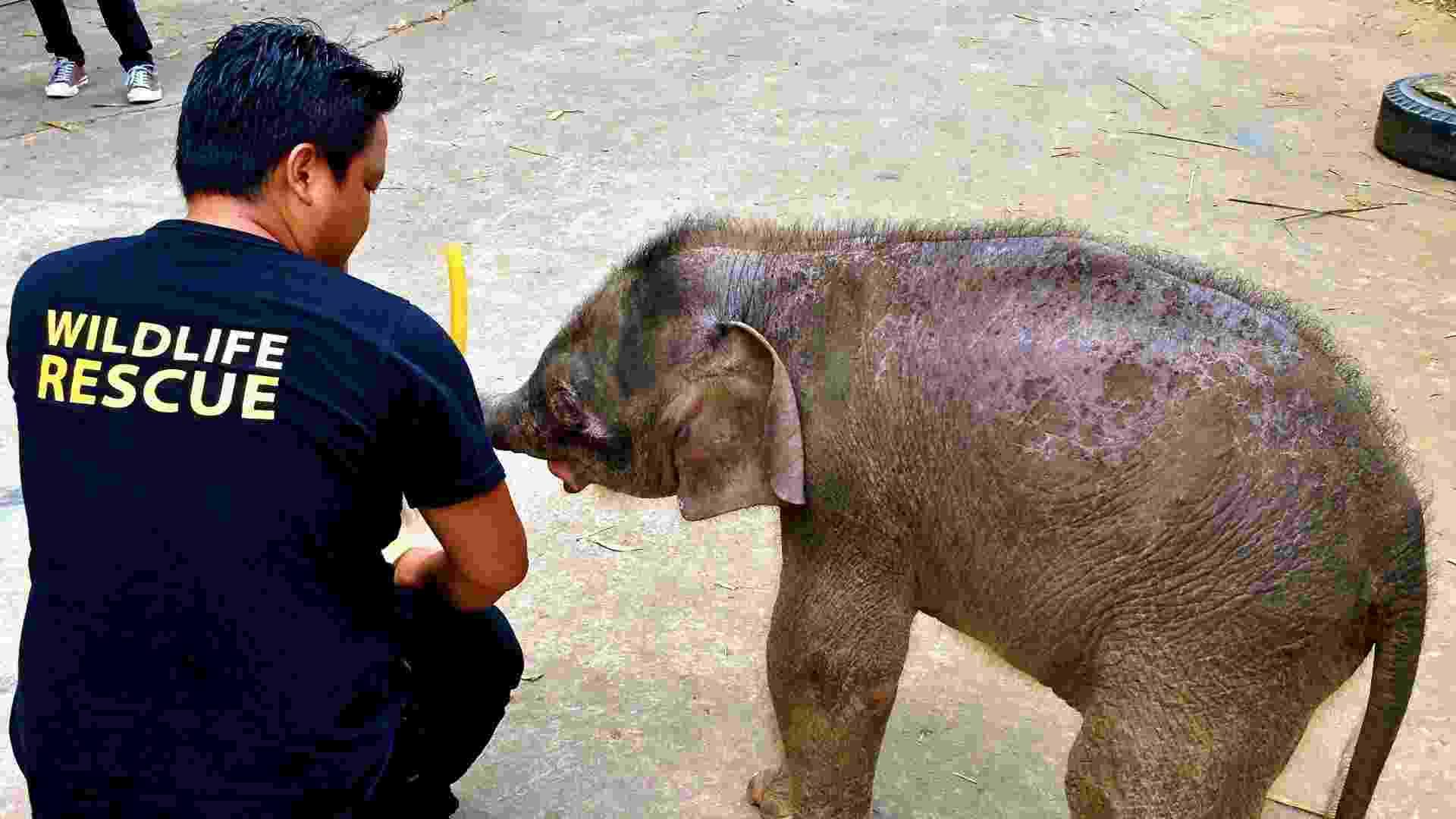 31.jan.2013 - Bebê de elefante-pigmeu-de-Bornéu, espécie ameaçada de extinção, é tratado no Zoológico Lok Kawi, em Kota Kinabalu, no Estado de Sabah, na Malásia. A mãe do filhote de três meses e outros 13 elefantes foram encontrados mortos, com suspeitas de envenenamento, na Reserva Florestal Gunung Rara, na ilha de Bornéu - Sabah Wildlife Department/AFP