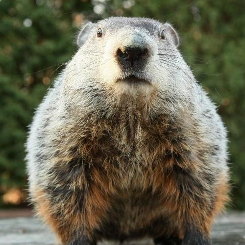 2.fev.2012 - Neste dia 2 de fevereiro é celebrada a festa do Dia da Marmota nos EUA.