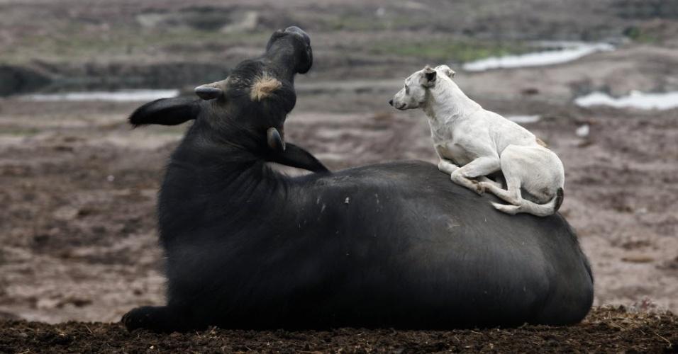 4.fev.2013 - Cachorro deita em um búfalo perto do rio Ravi, em Lahore, no Paquistão, nesta segunda-feira (4)