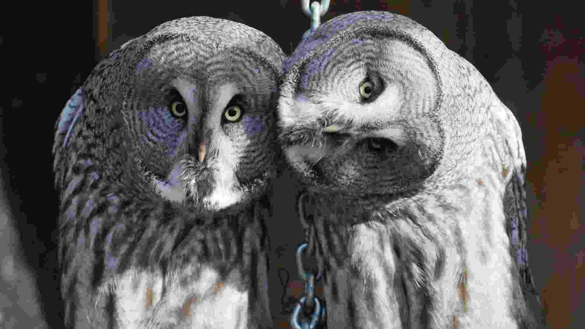 4.fev.2013 - Estudo da Universidade Johns Hopkins, em Baltimore, nos Estados Unidos, descobriu como as corujas giram quase toda a cabeça (270 graus) sem danificar os vasos sanguíneos do pescoço nem  interromper o fornecimento de sangue para o cérebro. As aves têm vasos sanguíneos que se ampliam, como uma represa, e acumulam sangue para garantir energia para irrigar o cérebro e os olhos enquanto giram a cabeça - Ilya Naymushin/Reuters