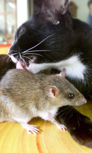7.ago.2002 - A gata Auan, de nove anos, lambe o ratinho Jeena, que é criado como filhote pela gata há três anos. Os animais vivem em uma fazenda ao norte de Bangcoc