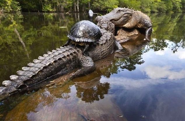 7.fev.2013 - Tartaruga senta-se nas costas de um jacaré, em um pântano da floresta Francis Beidler, na Carolina do Sul. A foto foi tirada por um fotógrafo que passou quatro meses registrando as interações e a amizade entre os animais