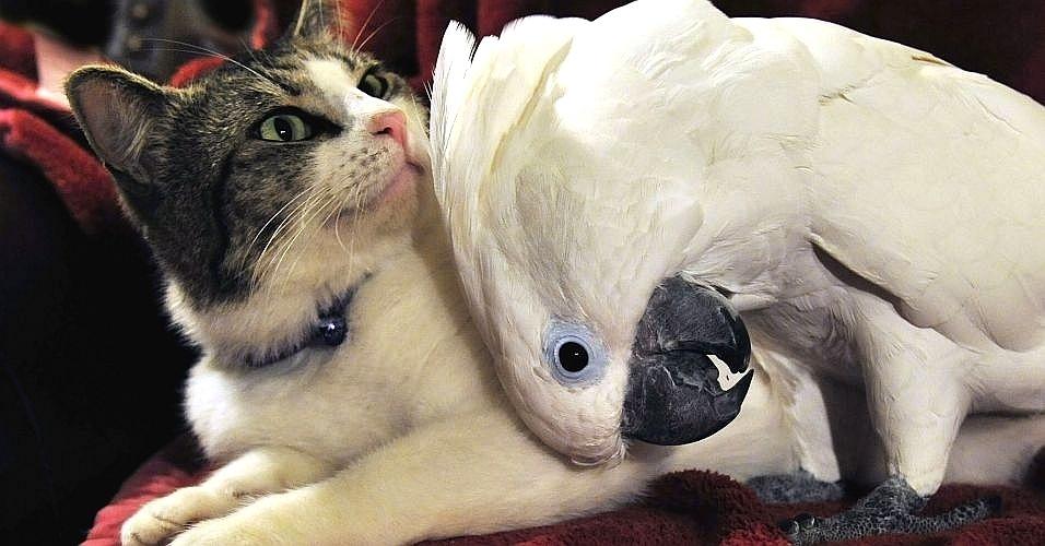 """A cacatua Coco e o gato Lucky, adotados por um casal americano, se tornaram grandes amigos instantaneamente. Vídeos de Coco acariciando o pelo do gato e das brincadeiras entre os dois fazem sucesso na internet. A amizade é retratada no livro """"Unlikely Friendships"""" (Amizades improváveis), que mostra animais de espécies diferentes que foram flagrados em momentos de """"amizade"""""""