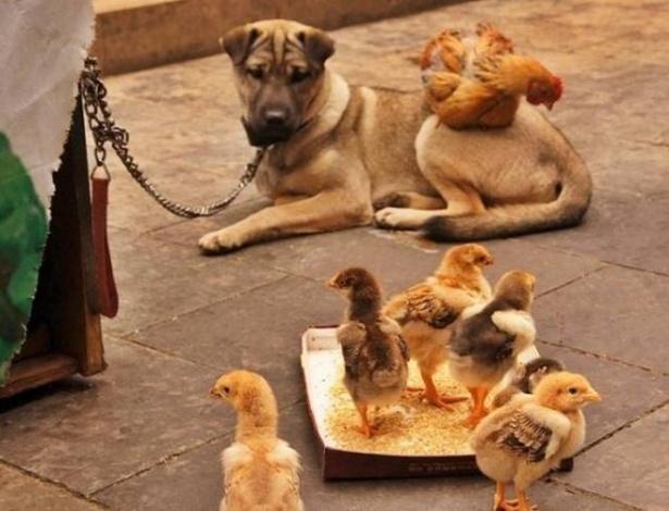 Este cachorro convive com uma galinha e seus pintinhos e também se tornaram amigos inseparáveis