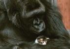 Ron Cohn/Gorilla Foundation/koko.org