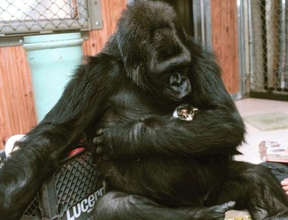 """Koko, que nasceu em um zoológico nos EUA, é capaz de entender palavras em inglês e na língua de sinais. Em 1984, ela """"pediu"""" um gato de estimação a sua treinadora Francine Patterson e ganhou All Ball, que aparece com a gorila na foto. A amizade é retratada no livro """"Unlikely Friendships"""" (Amizades improváveis), que mostra animais de espécies diferentes que foram flagrados em momentos de """"amizade"""""""