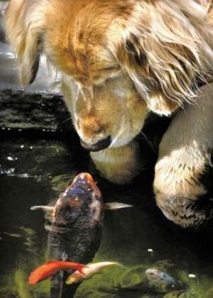 """O cachorro golden retriever Chino e a carpa chinesa Falstaff desenvolveram uma curiosidade mútua que logo se transformou em parceria, segundo seus donos, um casal do Oregon, nos Estados Unidos. Os dois se encontravam diariamente na beira do lago que o casal possuía em casa e tocavam seus focinhos. A amizade é retratada no livro """"Unlikely Friendships"""" (Amizades improváveis), que mostra animais de espécies diferentes que foram flagrados em momentos de """"amizade"""""""