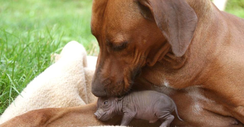 """Um cachorro da raça Leão da Rodésia faz carinho em um filhote de porco vietnamita. A amizade é retratada no livro """"Unlikely Friendships"""" (Amizades improváveis), que mostra animais de espécies diferentes que foram flagrados em momentos de """"amizade"""""""