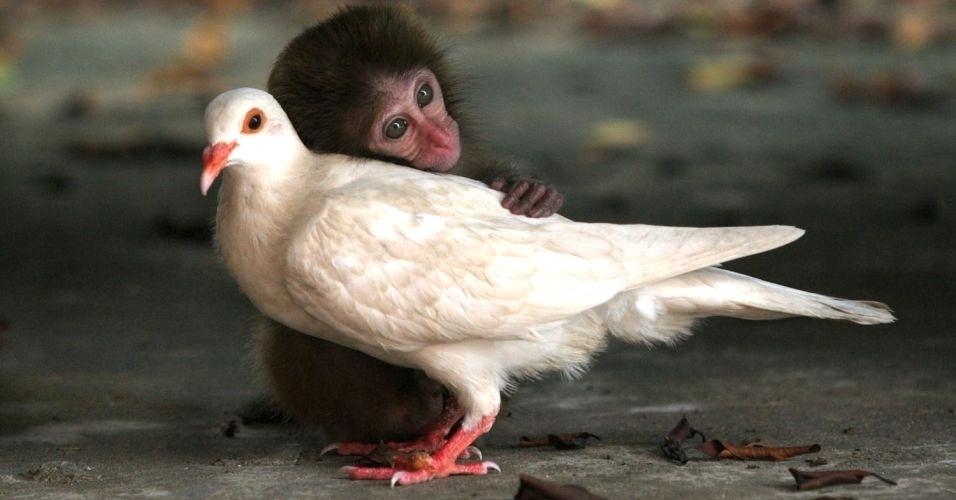 """Um macaco rhesus bebê e uma pomba dividiram a mesma jaula no centro de proteção animal de uma ilha chinesa, após serem encontrados por funcionários. Na jaula, eles dividiam alimentos e dormiam abraçados. A amizade é retratada no livro """"Unlikely Friendships"""" (Amizades improváveis), que mostra animais de espécies diferentes que foram flagrados em momentos de """"amizade"""""""