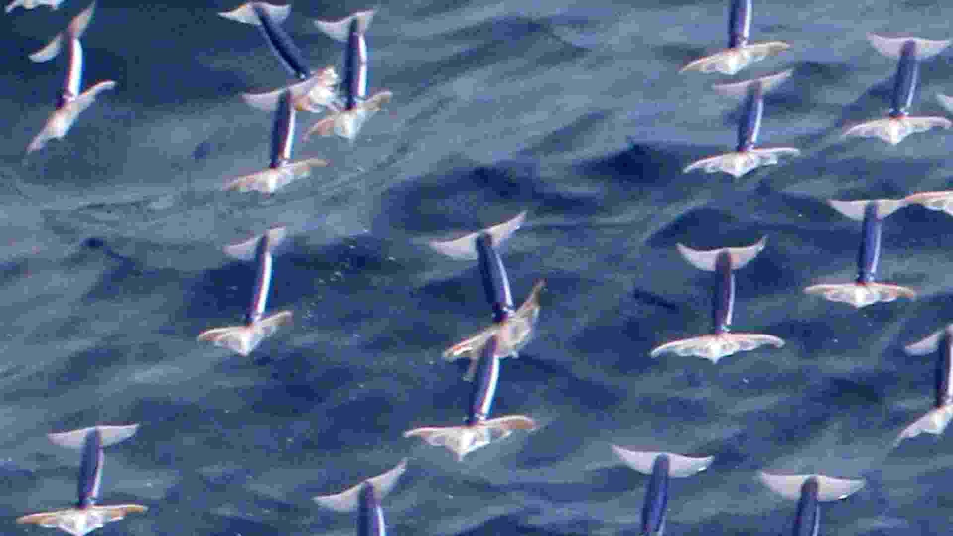 8.fev.2013 - Estudo da Universidade de Hokkaido, no Japão, comprovou a existência de lulas voadoras ao se deparar com cem animais dessa espécie no oceano Pacífico, a 600 quilômetros de Tóquio, em 2011. As lulas se lançam para fora do mar usando poderosos jatos d'água, abrem as nadadeiras e 'voam' 30 metros em três segundos. Depois, elas recolhem as nadadeiras para amortecer o choque e entram na água de forma aerodinâmica - Kouta Muramatsu/Hokkaido University/AFP