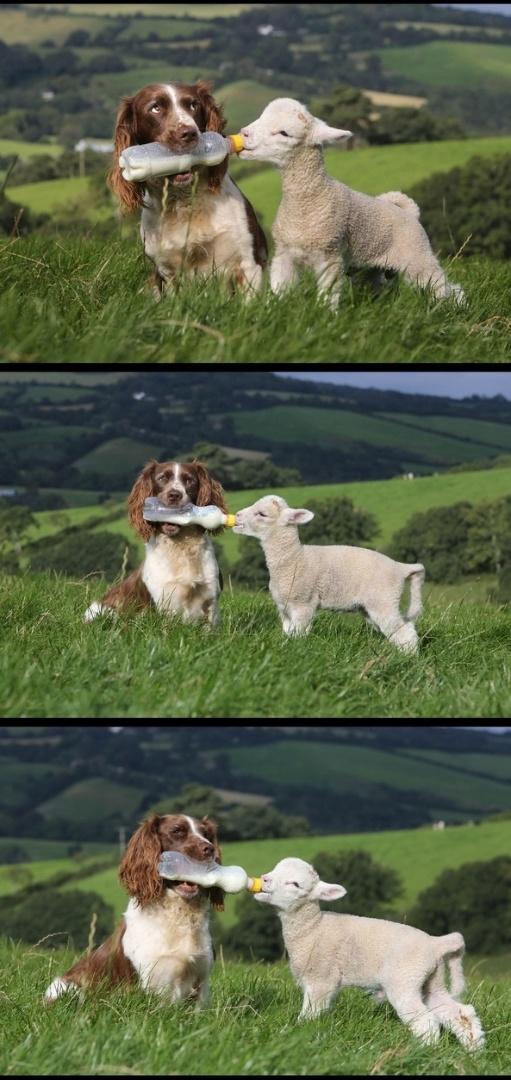 """Cão """"amamenta"""" ovelha em um campo, nos Estados Unidos"""