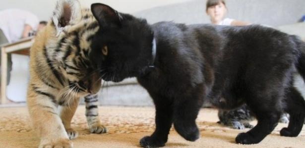 Gatinho preto se diverte com filhote de tigre branco