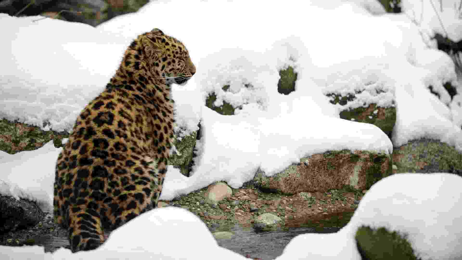 12.fev.2013 - Um leopardo de Amur caminha pela neve que cobre parte do zoológico de Mulhouse, na França. O animal é considerado o felino mais ameaçado do mundo - Sebastien Bozon/AFP