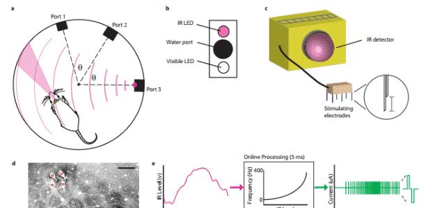 Acima à esquerda, um modelo da câmara de comportamento com três portas de recompensa separadas por um mesmo ângulo. O rato tem um detector de infravermelho afixada em sua cabeça, e o cone vermelho da imagem mostra a área em que ele irá responder a estímulos de infravermelho. A porta 3 emana o sinal infravermelho, como é visto pelas linhas semicirculares. Ao lado (b), há a indicação de como é cada porta, com uma luz infravermelha, porta para água e uma luz LED normal. Na imagem d, é possível ver onde os eletrodos foram colocados - Reprodução/Nature