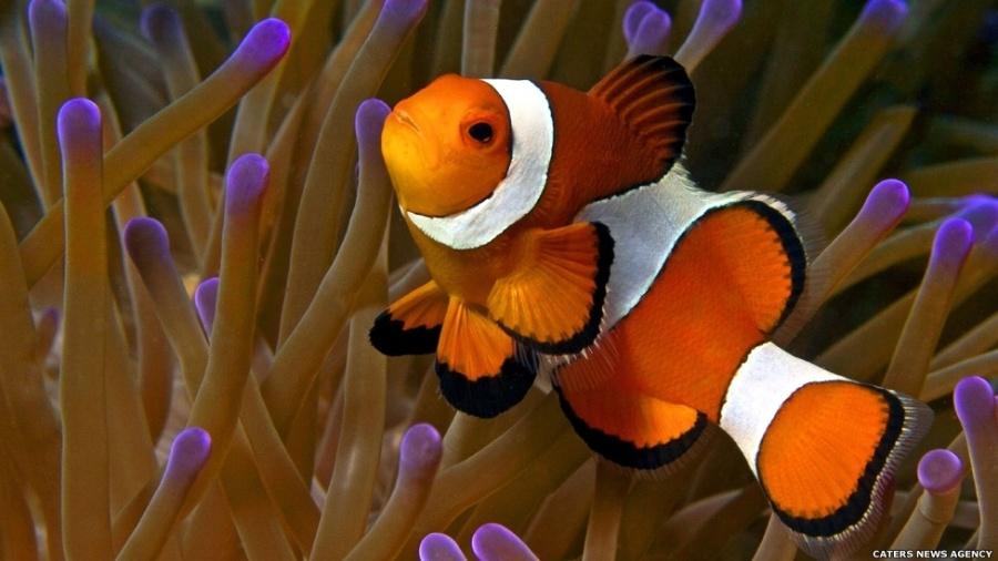 Os peixes dominam as águas do planeta com sua espantosa variedade de formas e comportamentos. O peixe-palhaço vive em uma relação simbiótica com a anêmona. O limo no corpo do peixe impede que as células urticantes da anêmona o machuquem - Caters News Agency