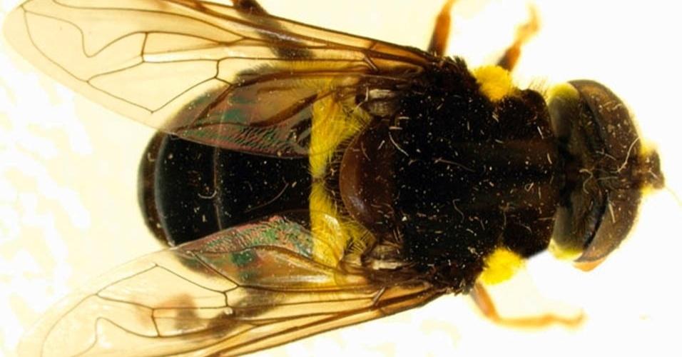4.fev.2013 - Dez anos de estudo nas florestas da América do Sul e Central resultaram na descrição de 24 novas espécies de moscas de flores, dobrando o número conhecido de insetos do gênero Quichuana, pertencente à família Syrphidae. Os resultados foram publicados no periódico 'Zoological Journal of the Linnean Society'