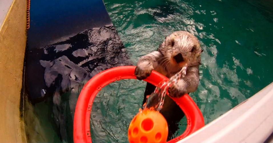 20.fev.2013 - A lontra Eddie joga basquete no zoológico de Oregon, em Portland (EUA), na quarta-feira (20)