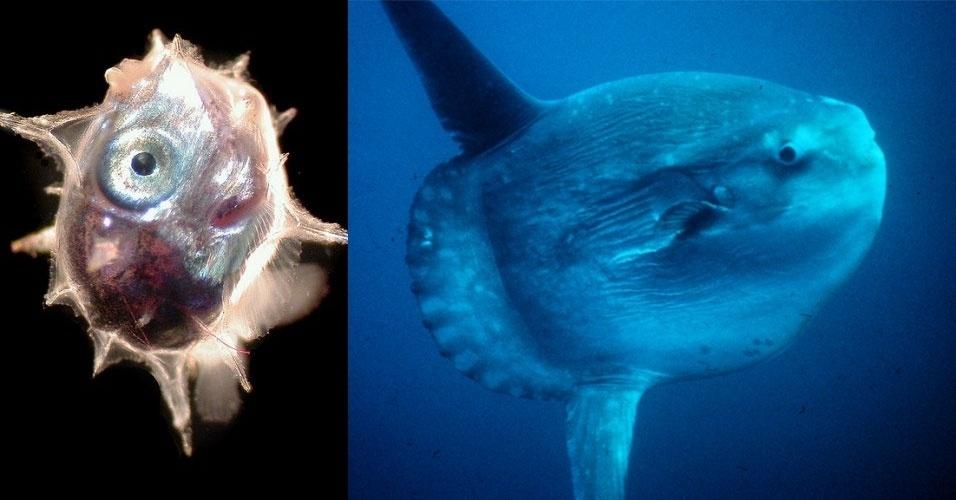 O peixe-lua, também conhecido por mola mola, já é bem estranho em sua fase adulta, quando pode pesar até 2,3 toneladas e alcançar 3 metros. Mas o maior peixe ósseo conhecido é ainda mais esquisito quando recém-nascido (e). Ele mede 0,25 centímetros e aumenta de tamanho 60 milhões de vezes durante sua vida. A fêmea da espécie é conhecida por produzir até 300 milhões de ovos de uma só vez, o maior número já registrado em um vertebrado. Eles vivem no Atlântico Norte e Sul, no Pacífico Norte e Sul e no oceano Índico