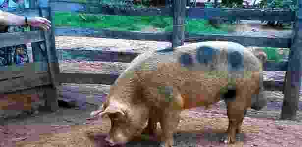 Devido ao tamanho, porco não pode cruzar com as porcas do proprietário - João Fernando P. S. Filho/Arquivo pessoal
