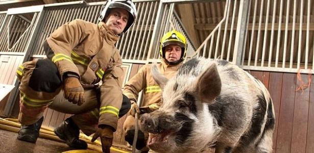 """O """"porco-bombeiro"""", Dominic, se tornou o mascote da brigada de incêndio há cerca de um ano"""