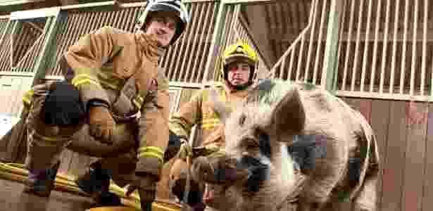 """O """"porco-bombeiro"""", Dominic, se tornou o mascote da brigada de incêndio há cerca de um ano - Reprodução/Mail Online"""