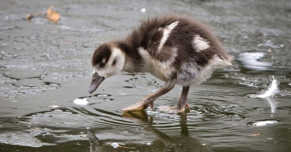 27.fev.2013 - Filhote de ganso egípcio caça alimento em parque de Frankfurt, na Alemanha