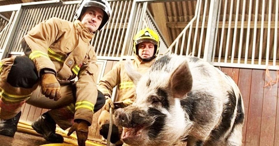 """Um novo recruta integra a equipe do serviço de Incêndio e Salvamento de Avon, em Bristol, na Inglaterra. Apelidado de """"porco-bombeiro"""", Dominic, que pesa 90 kg, se tornou o mascote da brigada de incêndio há cerca de um ano, quando seu dono idoso morreu"""