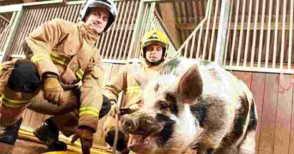 """Um novo recruta integra a equipe do serviço de Incêndio e Salvamento de Avon, em Bristol, na Inglaterra. Apelidado de """"porco-bombeiro"""", Dominic, que pesa 90 kg, se tornou o mascote da brigada de incêndio há cerca de um ano, quando seu dono idoso morreu - Reprodução/Mail Online"""