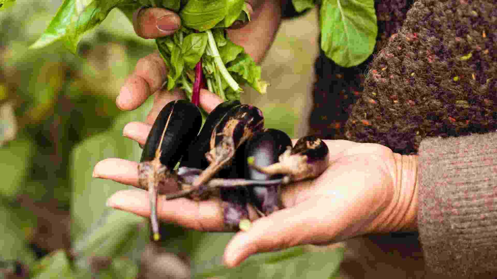 No jardim T&T são cultivadas 15 variedades de berinjelas que podem ser colhidas em diferentes meses do ano. Uma delas, plantada por um dos vizinhos da horta, é originária do Japão (Imagem do NYT, usar apenas no respectivo material) - Robert Wright/ The New York Times
