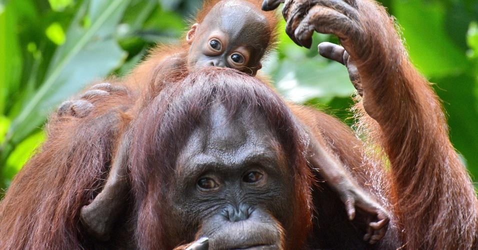 6.mar.2013 - Orangotango fêmea, chamada Dam, leva seu filho recém-nascido, Veera, nas costas no zoológico de Singapura. Veera é o 40º animal da espécie a nascer no zoológico, que mantem a maior colônia de orangotangos de Sumatra e de Bornéu, espécies ameaçadas
