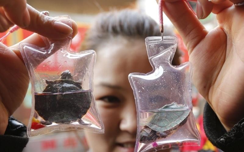 7.mar.2013 - Mulher exibe tartarugas em sacolas plásticas, compradas em área de Pequim. Vendida pelo equivalente a R$ 3,15, cada sacola, que contém um líquido nutricional além de oxigênio, pode manter o animal vivo por dois meses