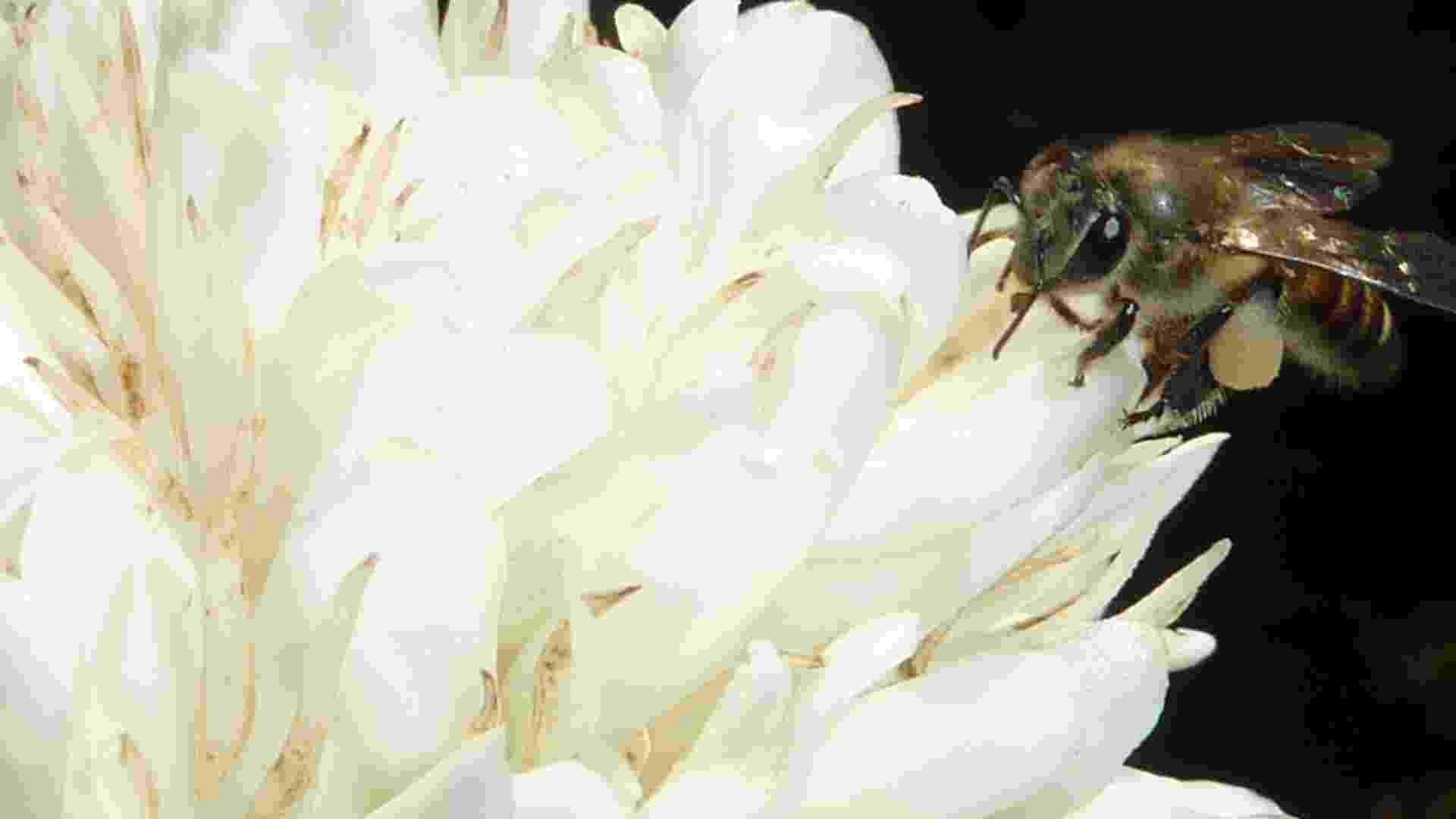 """8.mar.2013 - Abelhas que se alimentam de uma solução açucarada com cafeína, presente nas flores cítricas ou nas de café (foto), ficam mais """"ligadas"""" e passam a ter melhora na polinização. Pesquisa da Universidade de Newcastle, no Reino Unido, indica que o efeito da cafeína na memória dos insetos foi significativo: três vezes mais abelhas lembraram um aroma floral 24 horas depois de provar a cafeína e duas vezes mais abelhas lembraram do cheiro após três dias em relação àquelas que só provaram açúcar - Newcastle University/AFP"""
