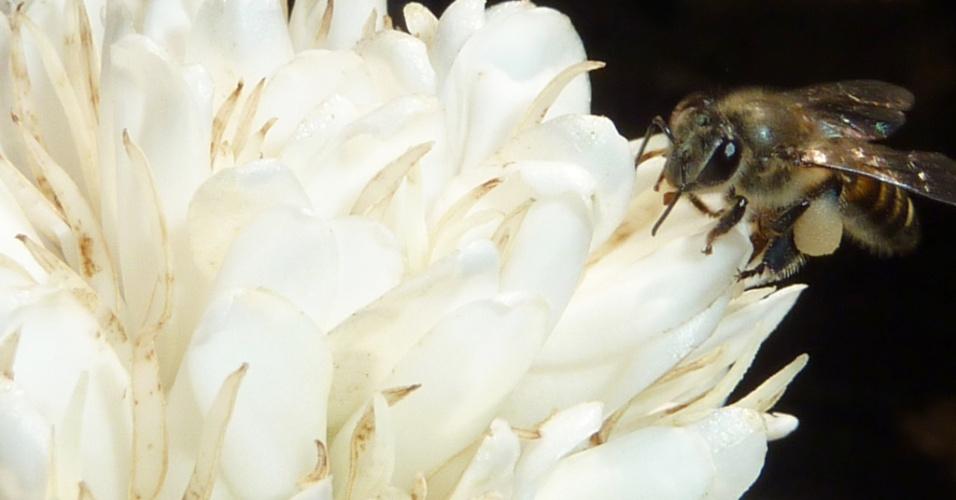 """8.mar.2013 - Abelhas que se alimentam de uma solução açucarada com cafeína, presente nas flores cítricas ou nas de café (foto), ficam mais """"ligadas"""" e passam a ter melhora na polinização. Pesquisa da Universidade de Newcastle, no Reino Unido, indica que o efeito da cafeína na memória dos insetos foi significativo: três vezes mais abelhas lembraram um aroma floral 24 horas depois de provar a cafeína e duas vezes mais abelhas lembraram do cheiro após três dias em relação àquelas que só provaram açúcar"""