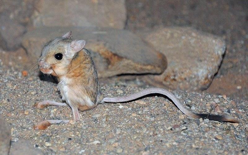 Os ossos do pé do jerboa são maiores do que seus braços. O roedor bípede, que vive no deserto, usa os grandes pés para fugir dos predadores e, agora, cientistas buscam nele a resposta para saber como que os ossos sabem até que comprimento devem crescer