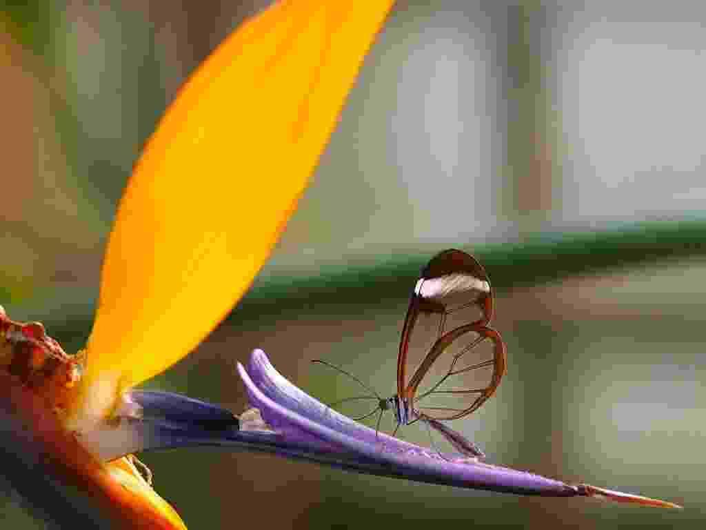 """A Borboleta Asa de Vidro (""""Greta oto"""") possui um tecido transparente nas asas, o que lhe garante este nome. A espécie é encontrada nas Américas do Sul, Central e Caribe - Swamibu"""