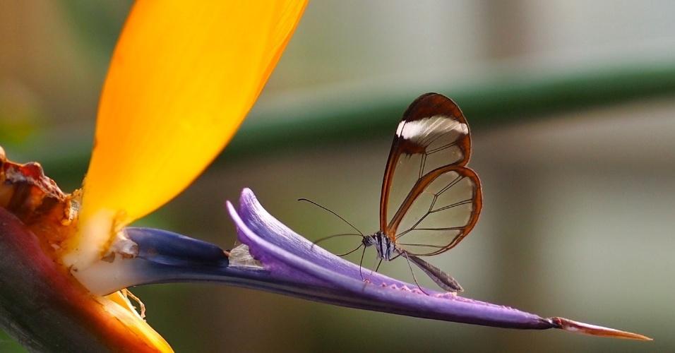 """A Borboleta Asa de Vidro (""""Greta oto"""") possui um tecido transparente nas asas, o que lhe garante este nome. A espécie é encontrada nas Américas do Sul, Central e Caribe"""