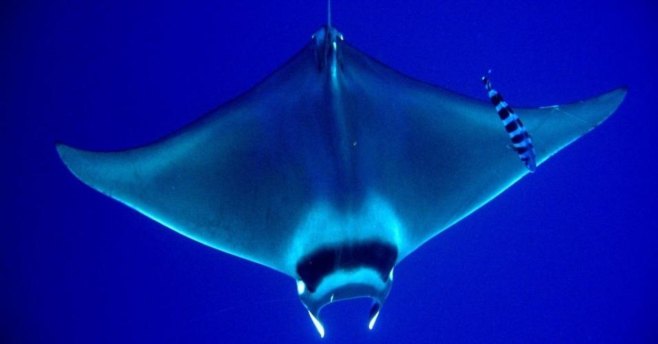 14.mar.2013 -O gênero das raias-jamanta (manta rays) também foi incluído no Anexo 2 da16ª Conferência da Convenção sobre Comércio Internacional das Espécies da Flora e Fauna Selvagens em Perigo de Extinção (Cites)