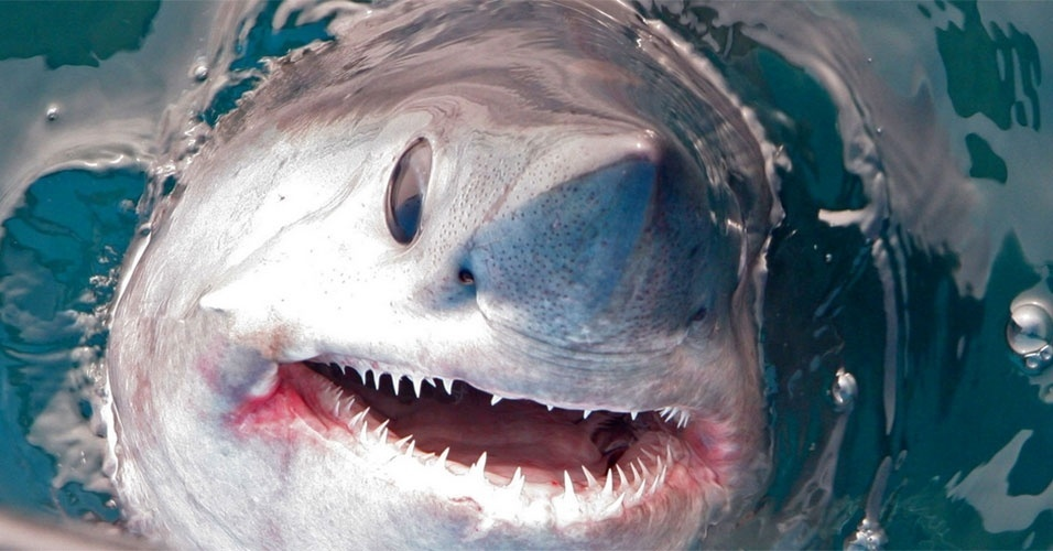 O tubarão Marracho (Lamna nasus) é uma das espécies vulneráveis que foi incluída em lista de animais cujo o comércio internacional será controlado. A decisão foi tomada na 16ª Conferência da Cites (Convenção Sobre o Comércio Internacional de Espécies da Flora e Fauna Selvagens em Perigo de Extinção)