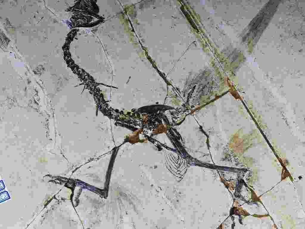 """15.mar.2013 - Estudo mostra que aves primitivas tinham quatro asas ao invés de duas. O """"Sapeornis"""", um tipo de ave conhecido pelos cientistas por anos, mas só agora eles perceberam que os pássaros tinham 4 asas, há mais de 120 milhões de anos, antes de a evolução levá-los a abandonar suas penas traseiras em favor dos pés escamosos, disseram cientistas da China - AFP PHOTO/STMN"""