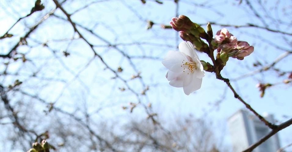17.mar.2013 - A agência meteorológica do Japão anunciou o início oficial da temporada da sakura no país. As flores das cerejeiras abriram mais cedo neste ano