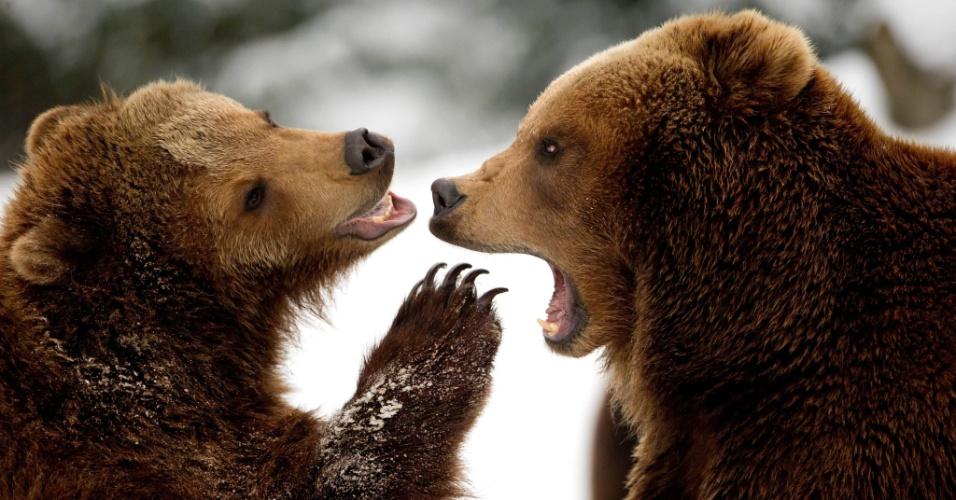 18.mar.2013 - Dois ursos marrons brincam na neve, no zoológico Tierpark Hagenbeck, em Hamburgo, na Alemanha