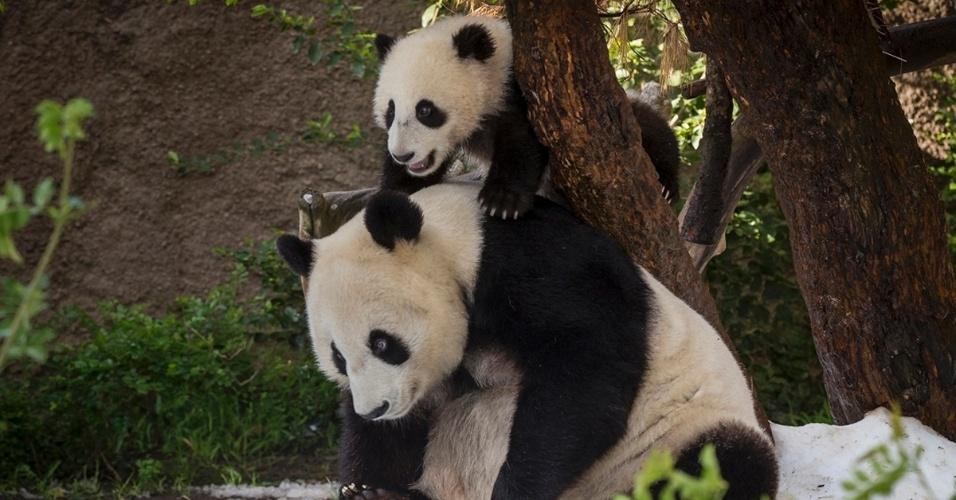 19.mar.2012 - O filhote de panda de sete meses Xiao Liwu sobe nas costas da mãe, Bai Yun, ao brincar na neve pela primeira vez, nesta terça-feira (19), no zoológico de San Diego, na Califórnia (EUA)