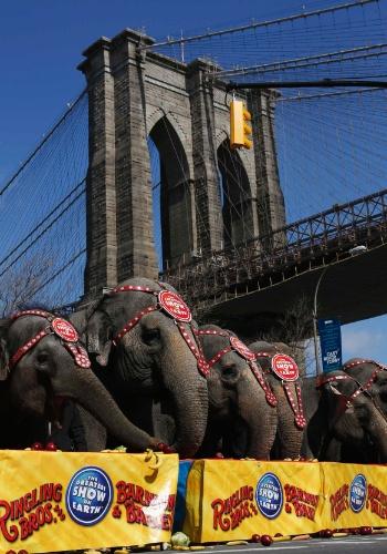 20.mar.2013 - Elefantes de circo fazem fila para uma fotografia com a ponte do Brooklyn ao fundo, em Nova York. O circo fica na cidade desta quarta-feira (20) até 1º de abril
