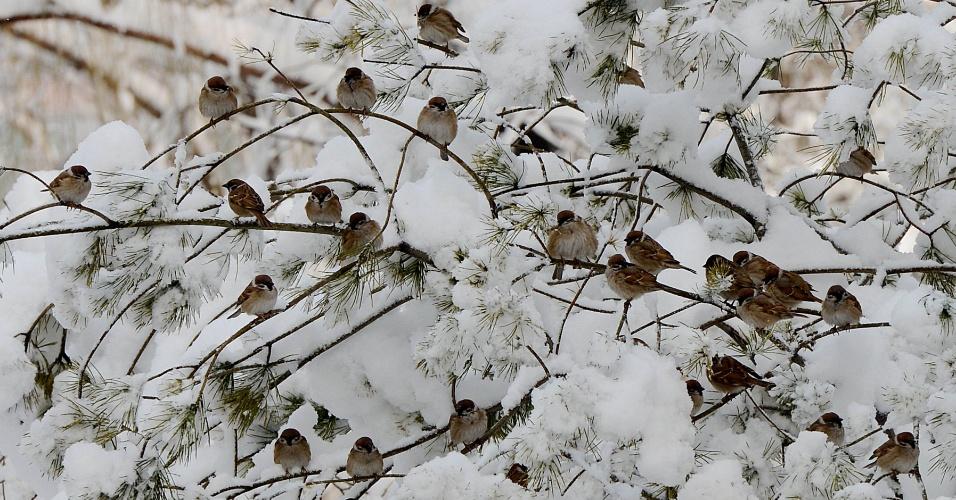 20.mar.2013 - Pássaros empoleirados nos galhos de uma árvore, coberta de de neve, em um parque após uma forte nevasca em Pequim, na China