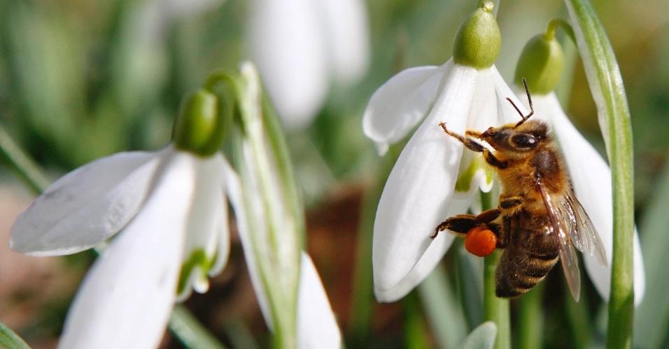 20.mar.2013 - Uma abelha recolhe o pólen em uma flor snowdrop, no primeiro dia da primavera, em Klosterneuburg, na Áustria