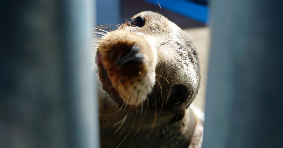 13.mar.2013 - O Centro de Mamíferos Marinhos do Pacífico, em Laguna Beach, nos Estados Unidos, abriga cerca de 80 filhotes de leões-marinhos resgatados de praia na Califórnia com grave desnutrição e desidratação. Eles estavam próximo à costa do condado de Orange, e agora recebem cuidados e mimos dos funcionários do local